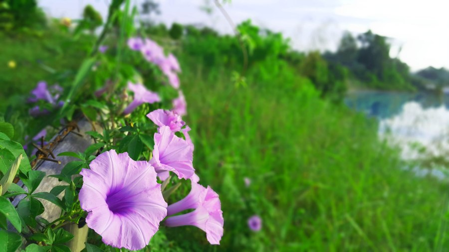 Bunga Danau Kaolin blog